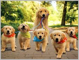 What Should You Look For Checking Out Golden Retriever Puppies For
